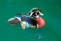 Pato de madeira americano Fotos de Stock Royalty Free
