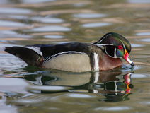 Pato de madeira em beber da lagoa Imagem de Stock Royalty Free