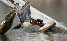 Pato de madeira no vôo Fotografia de Stock Royalty Free