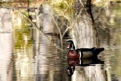 Pato de madera masculino en la primavera Foto de archivo libre de regalías