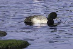 Pato de maior negrinha masculino Imagem de Stock Royalty Free