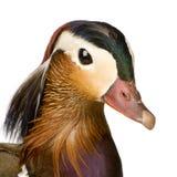 Pato de mandarín foto de archivo
