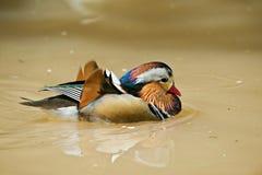 Pato de mandarín Fotografía de archivo libre de regalías