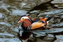 Pato de mandarín Imagen de archivo libre de regalías
