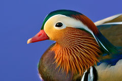 Pato de mandarín colorido Imagenes de archivo