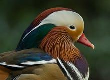 Pato de mandarín colorido Imagen de archivo