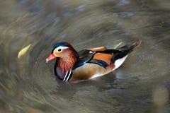 Pato de mandarín colorido Fotografía de archivo