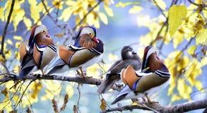 Pato de mandarín colorido Fotos de archivo