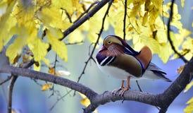 Pato de mandarín colorido Foto de archivo