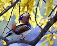 Pato de mandarín colorido Fotos de archivo libres de regalías