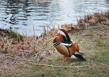 Pato de mandarín colorido Imágenes de archivo libres de regalías