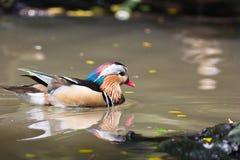 Pato de mandarín en el lago Foto de archivo