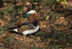 Pato de mandarín/galericulata del Aix Imagen de archivo