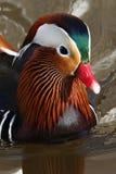 Pato de mandarín (galericulata del Aix) Fotografía de archivo