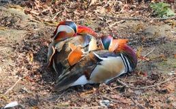 Pato de mandarín masculino de reclinación Imagen de archivo libre de regalías