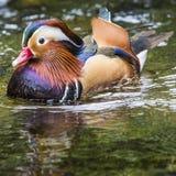 Pato de mandarín masculino hermoso (galericulata del Aix) Imágenes de archivo libres de regalías