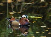 Pato de mandarino Imagens de Stock