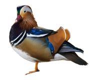 Pato de mandarino Imagem de Stock