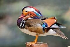 Pato de mandarino Fotografia de Stock