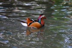 Pato de mandarino Imagem de Stock Royalty Free