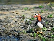 Pato de mandarino Fotos de Stock Royalty Free