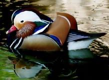 Pato de mandarino Fotografia de Stock Royalty Free