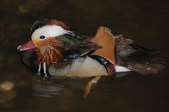 Pato de mandarino (Aix Galericulata) Imagem de Stock
