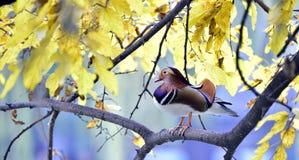 Pato de mandarino colorido Fotografia de Stock Royalty Free