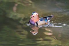 Pato de mandarino colorido Fotografia de Stock