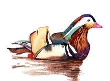 Pato de mandarino da aquarela ilustração stock