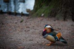 Pato de mandarino do parque de Varsóvia fotos de stock