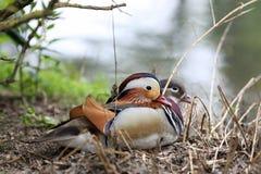 Pato de mandarino, galericulata do Aix Fotos de Stock