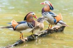 Pato de mandarino (galericulata do Aix) Foto de Stock