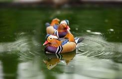 Pato de mandarino, galericulata do Aix, homem na água Fotografia de Stock Royalty Free