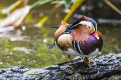 Pato de mandarino masculino bonito (galericulata do Aix) Foto de Stock Royalty Free