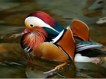 Pato de Mandrian fotografia de stock royalty free