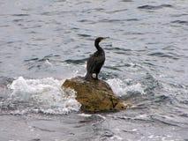 Pato de mar Fotos de archivo