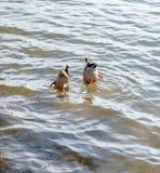 Pato de mergulho Foto de Stock