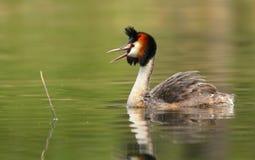 Pato de mergulho que grita fotos de stock royalty free