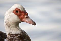 Pato de Muscovy Fotos de Stock Royalty Free