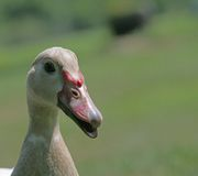 Pato de Muscovy imagenes de archivo
