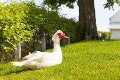 Pato de Muscovy Foto de Stock Royalty Free
