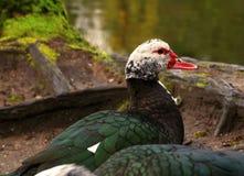 Pato de Muscovy Imagen de archivo libre de regalías