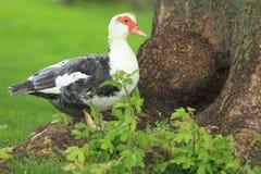 Pato de Muscovy Fotos de Stock