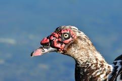 Pato de Muscovy Imagens de Stock