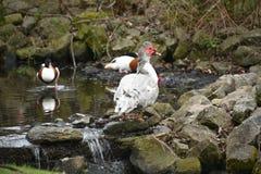 Pato de Muscovy Fotografia de Stock Royalty Free