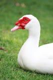 Pato de Muscovy blanco Fotografía de archivo