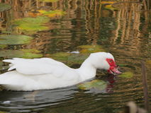 Pato de Muscovy blanco imagen de archivo libre de regalías