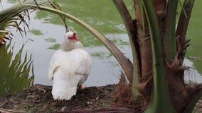 Pato de muscovy blanco que se sienta al lado del lago y debajo del árbol de coco metrajes