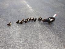 Pato de Muscovy da mamãe & seus 11 pequenos Imagens de Stock